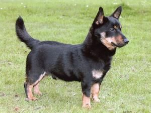 lancashire heeler dog photo | Lancashire Heelers - Champdogs ®