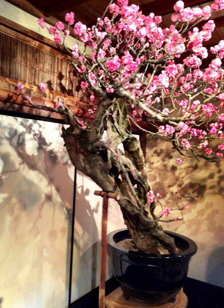 滋賀県長浜で開催されている盆梅展の梅