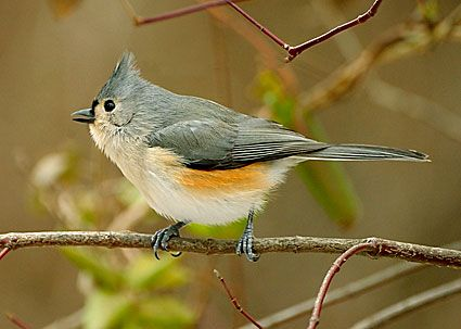 32 best my birds images on pinterest backyard birds beautiful tufted titmouse baeolophus bicolor first sighting hawk mountain pa sciox Images