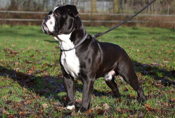 Continental Bulldog | dogs | Pinterest | Bulldogs