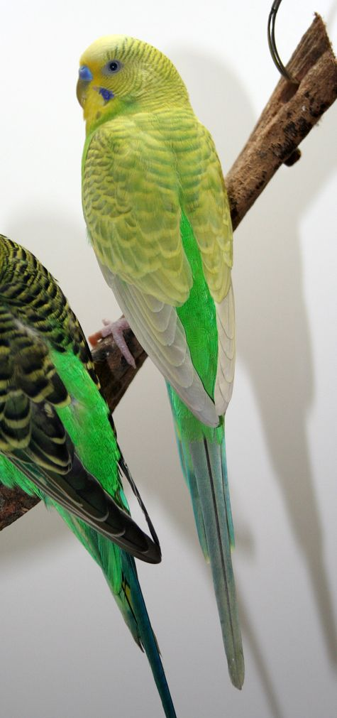 Beautiful Pale Green Bedrooms: 17+ Best Ideas About Parakeets On Pinterest