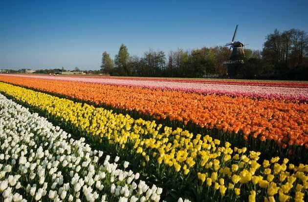 Keukenhof Tulip Fields, Netherlands