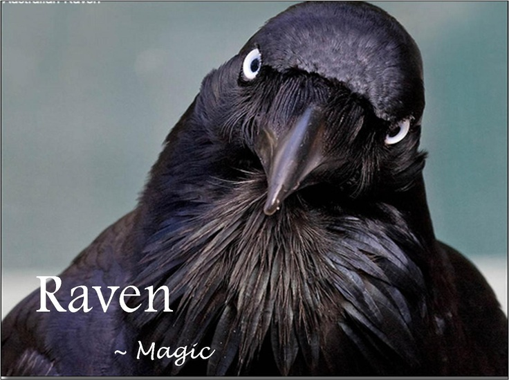 Pin By Mary On Ravens Pinterest Ravens Crows And Crows Ravens