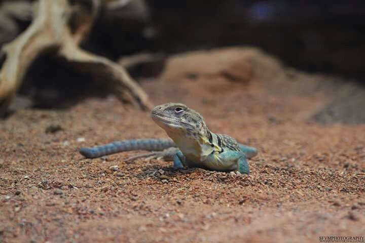 Lizard. #lizard #animal #sfvm #photography #cute #sfvmphotography