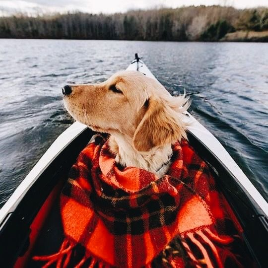 Golden Retrievers and boats go hand in hand