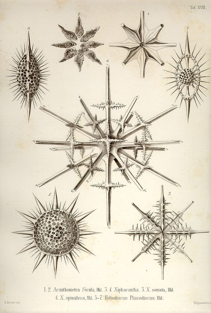Ernst Haeckel, Acanthometra
