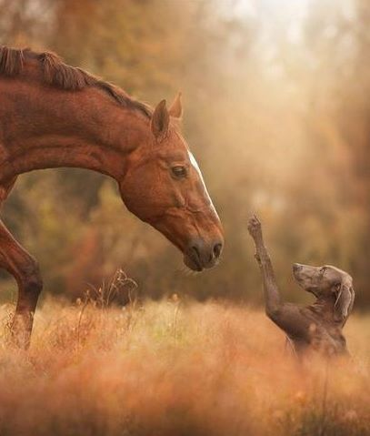 Chestnut horse with a Weimaraner