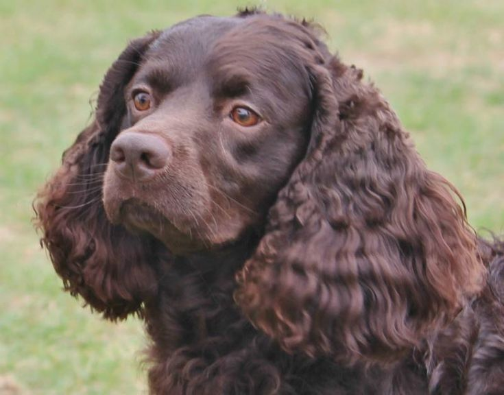 Image result for american water spaniel