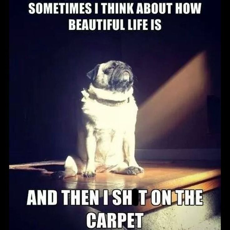 Deep Reflection Time   http://onlineclock.net/sounds/?sound=Dog-Barking  #Dog #Dogs #DogLovers #Pets #DogOwners #Pug #Pugs #PugLove #PugLife #Life #Carpet #Pugstagram #PugsOfInstagram #Dogstagram #DogsOfInstagram #Animals #AnimalLover #AnimalLovers #LOL #Humor
