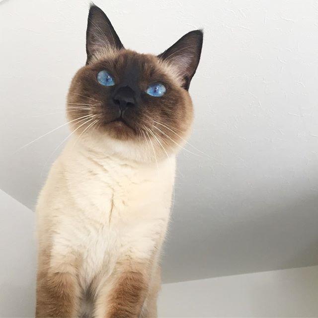朝からピュ〜ピュ〜うるさいニャ🌪🍂 #猫#ネコ#ねこ#愛猫 #ラグドール#ロシアンブルー#mix #Ragdoll#Russian Blue #甘えん坊#抱っこ好き#ひょうきん#忍者猫 #イケニャン#ねこ部#ねこのきもち #札幌市#台風#大荒れ