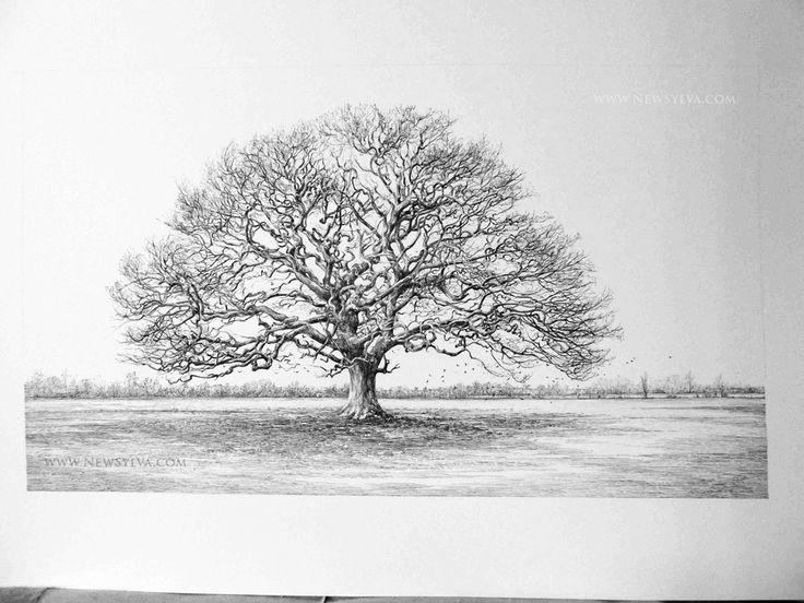 Oak Tree Drawing \x3cb\x3edrawing\x3c/b\x3e the new sylva page 2