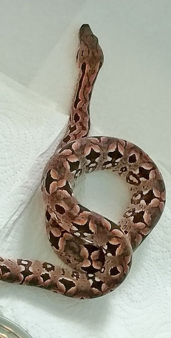 7 Boas And Pythons That Make The Best Pets Pet Snake Python Pets