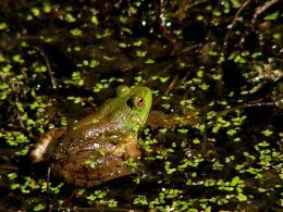 Attracting frogs/toads to your garden.