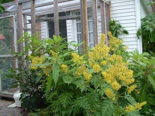 Description : Fleur jaune. Feuillage finement découpé, Fleur en petits capitules sont groupées en panicule. Décorative, vigoureuse. Les fleurs sont suivies en hiver par des graines décoratives.