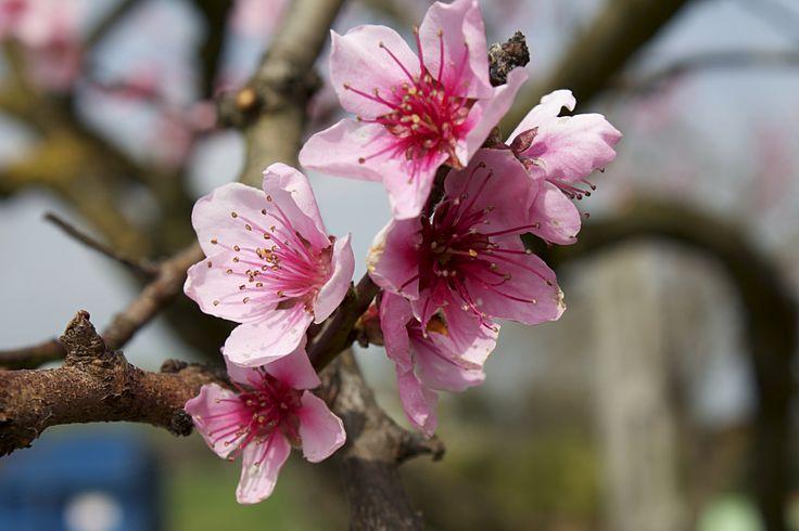 #Fiore di #pesco. Orto giardino di Barbanera. #Spello, #Umbria