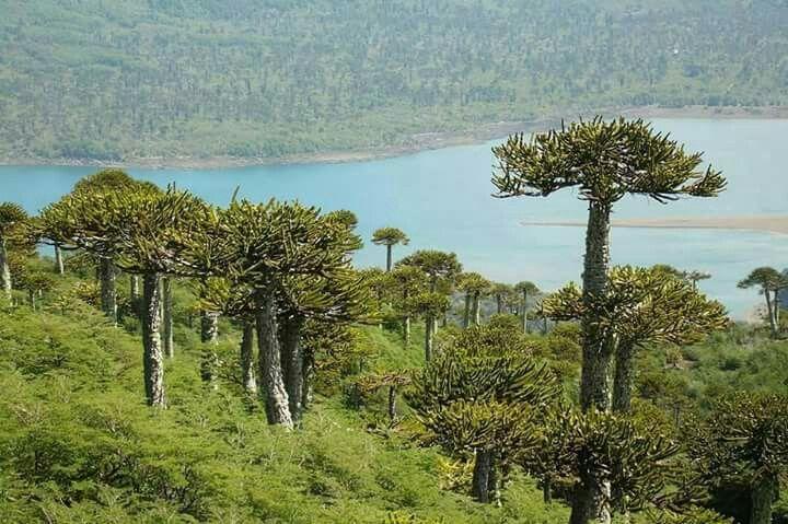 Parque Nacional Conguillio.