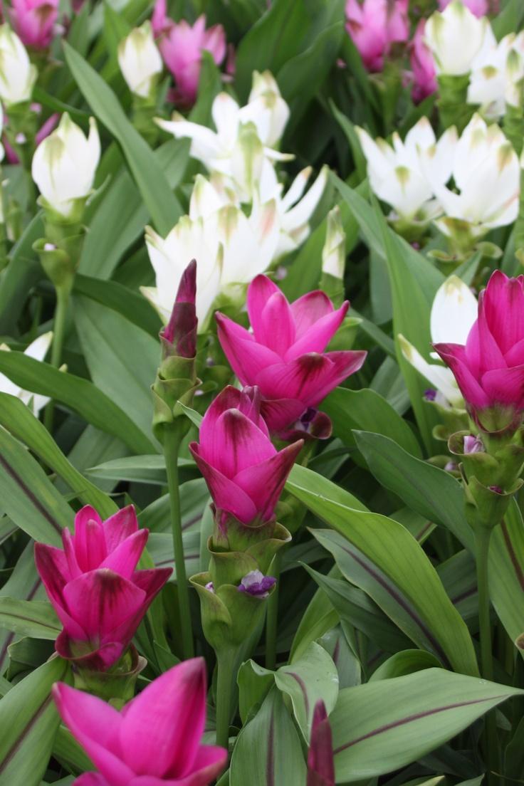 Curcuma. De statige plant heeft ranke, krachtige stelen, grote uitwelvende bladeren en zeer rijk bloeiende bloemen.