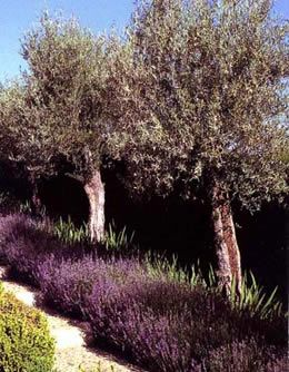 Google Image Result for http://www.eastofedenplants.co.uk/images/db/plants/olives/images/Mature_Olives_underplanted_with_Lavenders_35.jpg