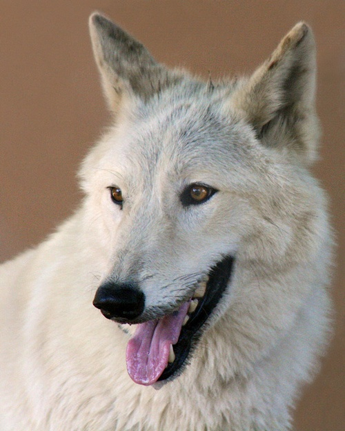 Koda, an Artic Wolf ambassadaor at San Diego Zoo, by Penny Hyde