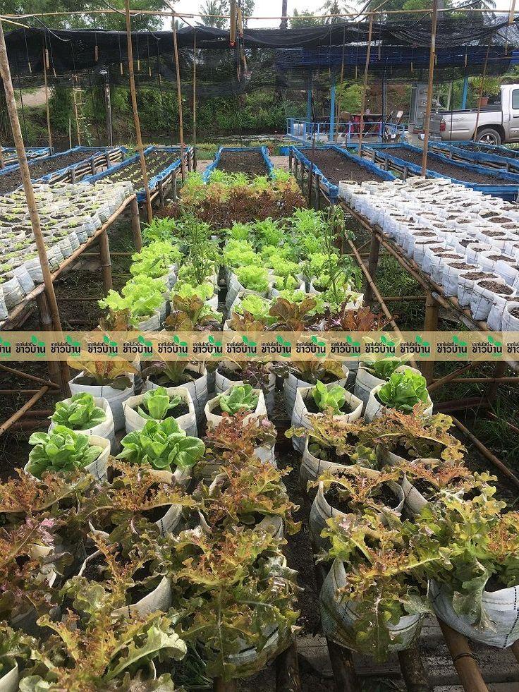 สวนยายเน ยงเกษตรอ นทร ย เทคโนโลย ชาวบ าน การตลาด