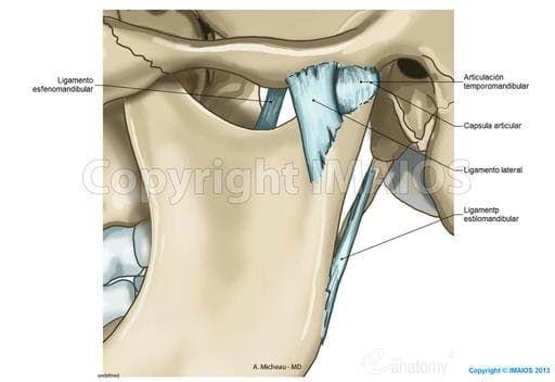 Articulación temporomandibular-Articulaciones sinoviales del cráneo:Disco articular, Ligamento lateral, Membrana sinovia1 superior, Ligamento esfenomandibular