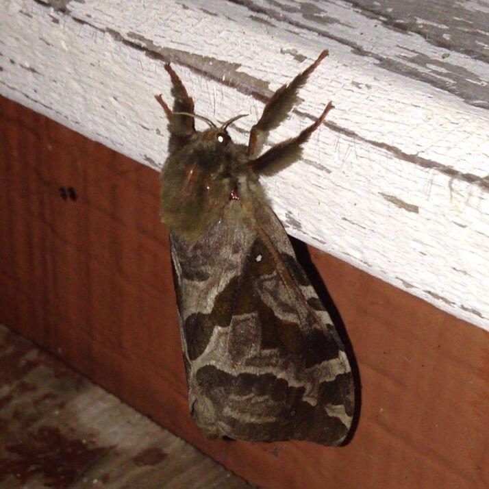 Viac ako 25 najlep ch n padov na pintereste na t mu gros papillon de nuit - Gros papillon de nuit dangereux ...