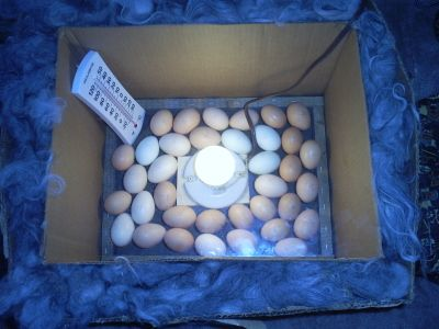 DIY Incubator - HOMEGROWN Cheap and easy!!  Tried it and it really works!    www.mycasacaoba.com
