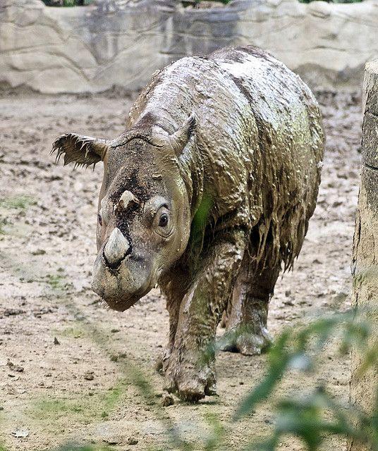 Sumatran Rhinoceros | Sumatran Rhinoceros | Flickr - Photo Sharing!