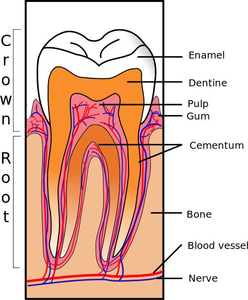 Dental anatomy is a branch of anatomy dedicated to focusing and studying human tooth structures. It is a field which examines the evolution, appearance and classification of teeth.   http://www.topdentist-ny.com/names-of-teeth