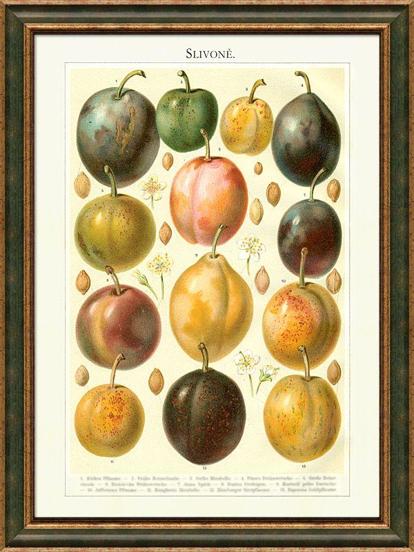 Slivoně staré odrůdy