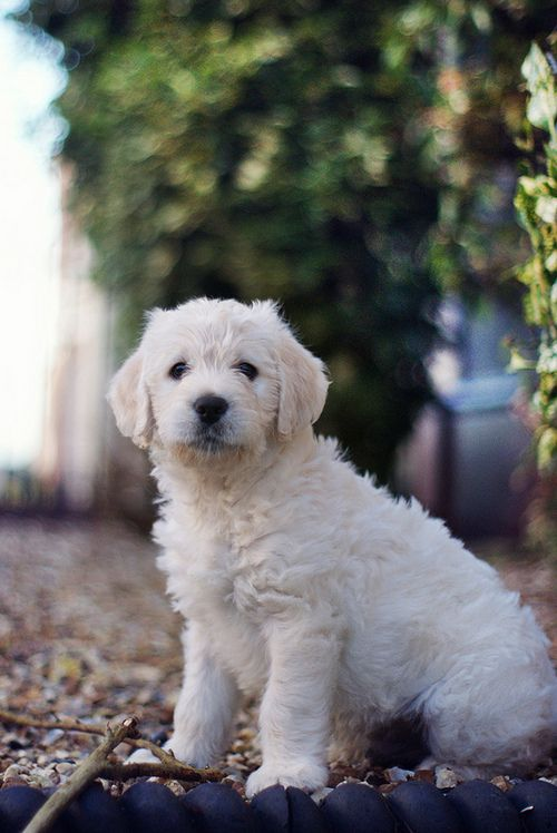 Golden Doodle  suppose to be one of the best dogs. Plus hypoallergenic