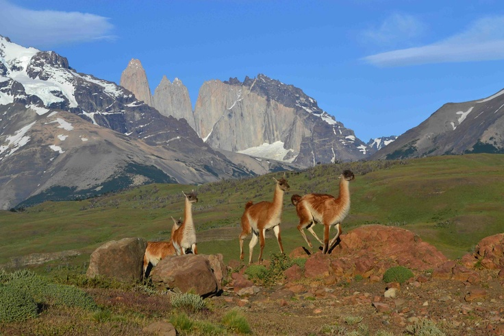 Guanacos, Torres del Paine National Park, Chile.  Photo: Dr. Charles A. Munn. Luxury Amazon & South American Wildlife Tours.