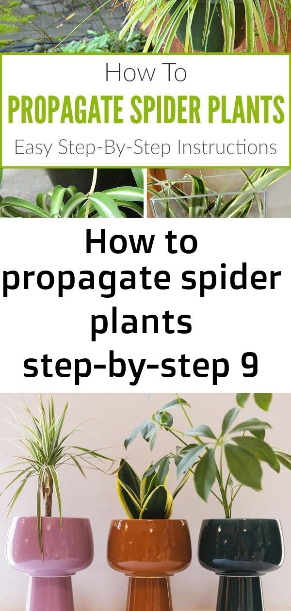 Propagating spider plants is fun and easy! Learn how to propagate spider plants using the most ...