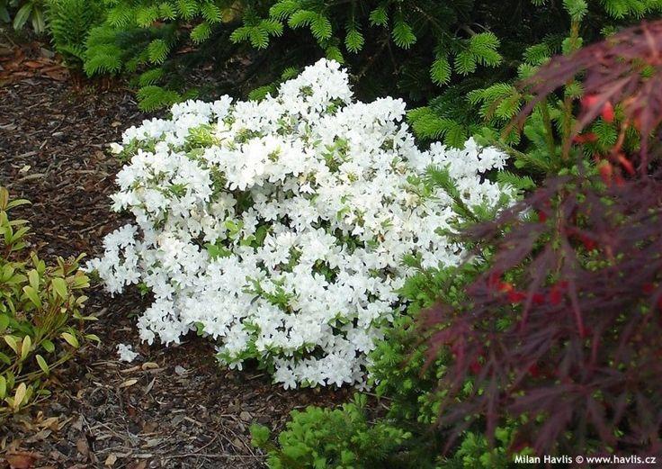 140 best images about azalea on pinterest gardens early for Azalea japonica