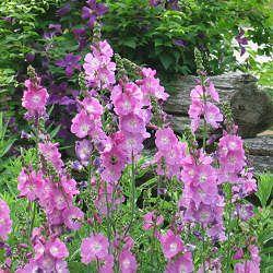 Sidalcea malviflora:  Checkerbloom  Sun Exposure: Full Sun or Partial Shade   Height: 23-29 inches   Spread: 12-18 inches