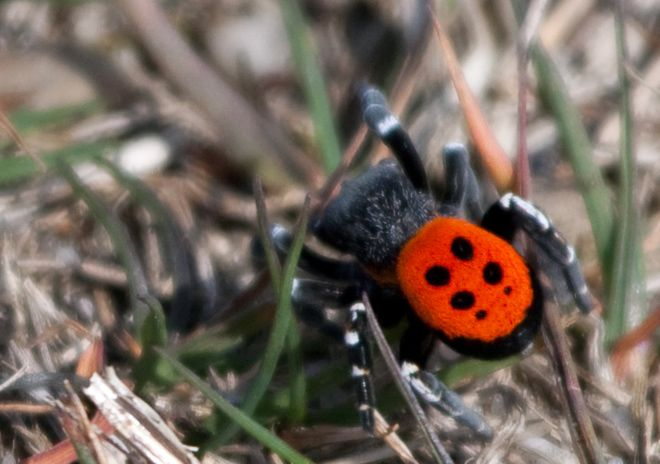 The nearly extinct Ladybird Spider.  Down to just 56 individuals by the mid-1990's, efforts have been underway to create populations of these arachnids in labs, for introduction back into the wild.