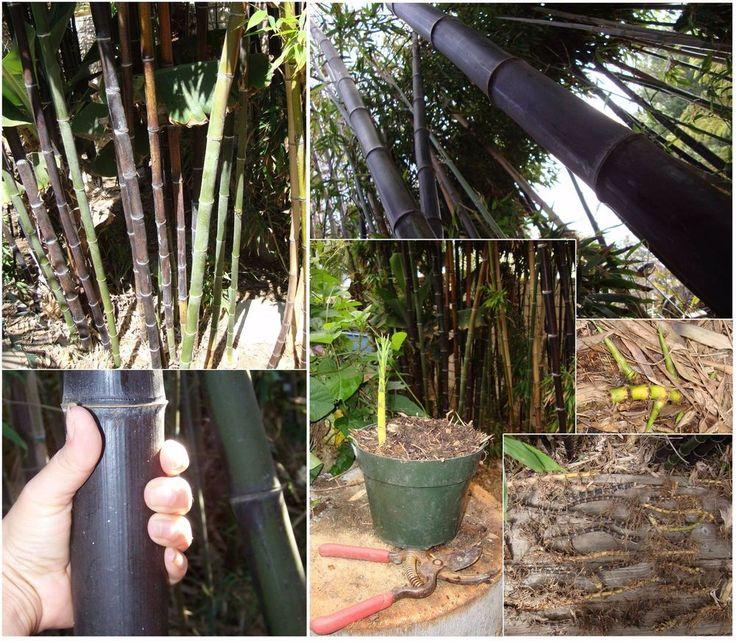 best 25 black bamboo plant ideas on pinterest black bamboo outdoor bamboo plants and. Black Bedroom Furniture Sets. Home Design Ideas
