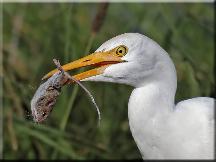 Cattle Egret (Bubulcus ibis)      With a kill a field mouse