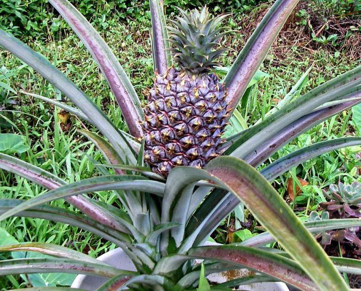 die besten 25 ananas plant ideen auf pinterest ananas pflanzen wachsenden pflanzen und wie. Black Bedroom Furniture Sets. Home Design Ideas