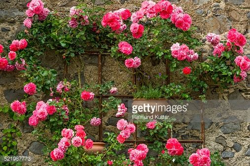 Stock Photo : Rambler roses and lavender, historic centre, Braunfels, Hesse, Germany