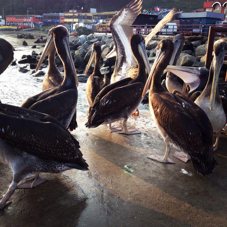 Pelicanos en el puerto