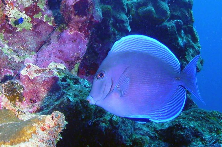 19 best images about reef fish on pinterest indigo for Fish in spanish