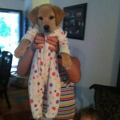 Lab Puppy in Footie Pajamas - what in the world
