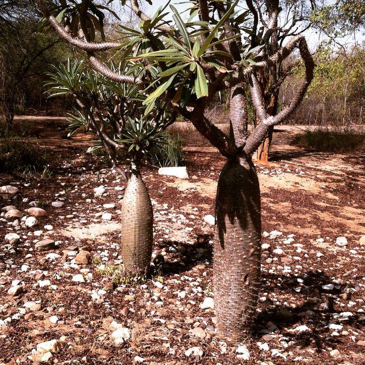 veo_veo, paquipodium especie extinta en Madagascar, presenté en Jardín Botanico, Maracaibo.