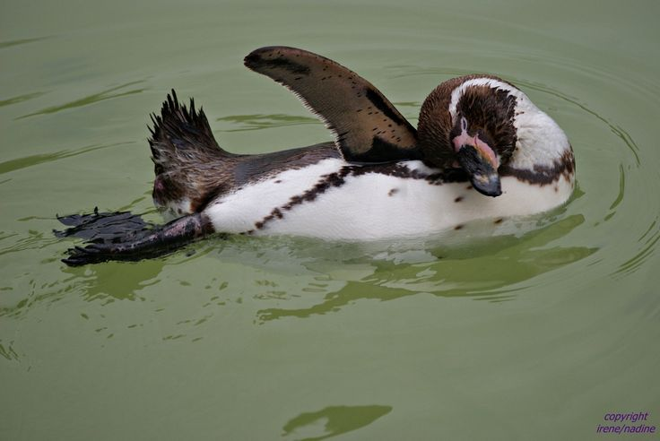 Dieser freundliche Pinguin drehte im Magdeburger Zoo sein Runden...   Wahrscheinlich wollte er uns freundlich zuwinken, oder auch fotografiert werden?!    Auf jeden Fall finden wir ihn ziemlich süß in seiner eingenommenen verträumten Schwimmpose!   Aufgenommen am 15.08.2010