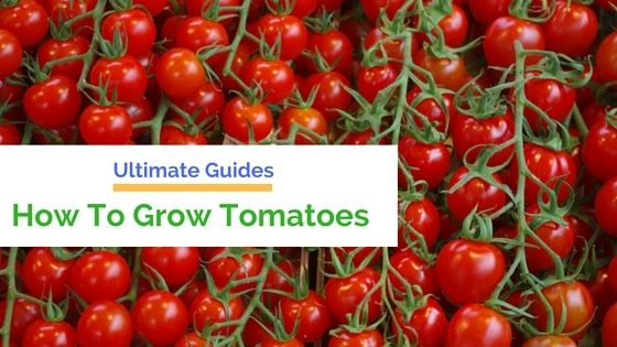 How To Grow Tomatoes At Home – Best Way To Grow Tomatoes  Farming your own tomato garden is simple. This wise article will guide you how to grow tomatoes at home and learn just a couple of plants will reward you with plenty of delicious tomatoes in the summer.