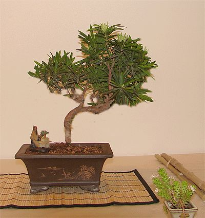 Photo du bonsai : Podocarpus (Podocarpus nagi)