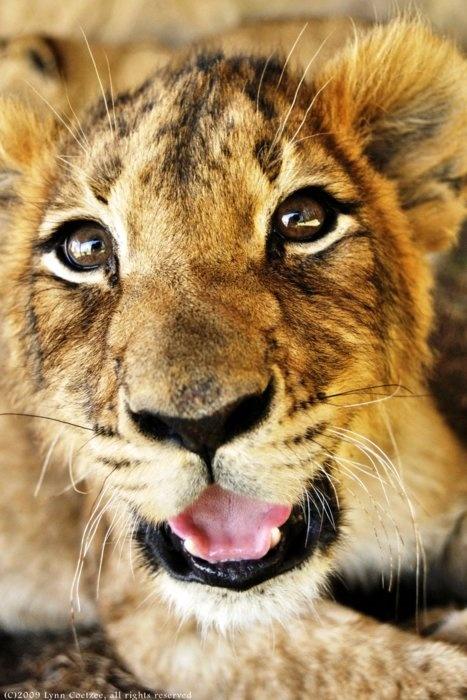 rawrWild Cat, Animal Baby,  Panthera Leo, Animal Wildlife Nature, Lion Cubs, Lion Baby, Box Pies, Big Kitty, Adorable Animal