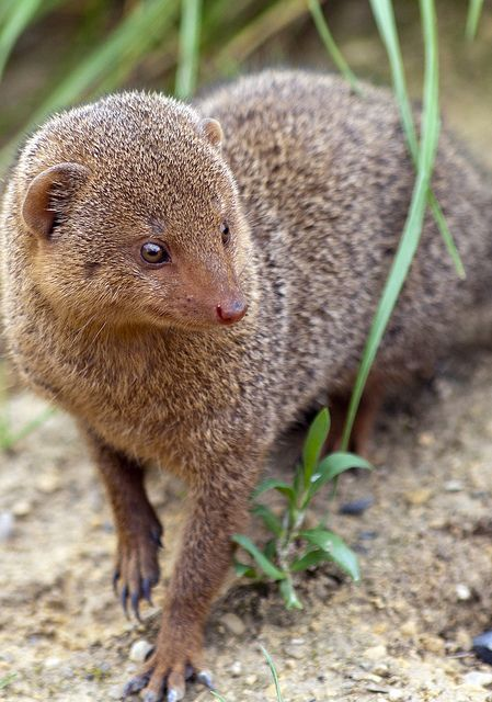 Dwarf mongoose by Stephen Bridson, via Flickr
