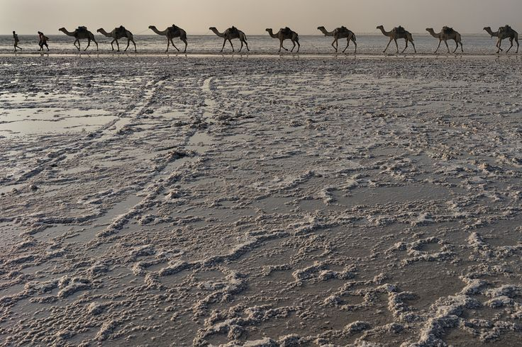 All the camels come marching home. Salt flats of the Danakil Depression. #Ethiopia #photo #photog #travel #pod